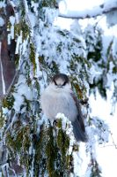gray jay by davidst123