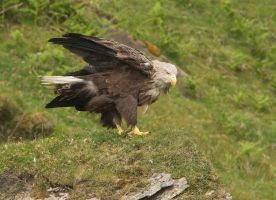 White-tailed Sea-eagle by Jamie-MacArthur