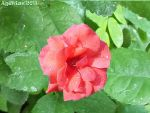 A Rose with Droplets of Rain by Agetian
