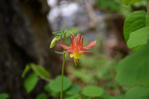 Columbine by Wing0Eater