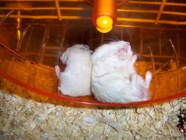 Hamsters - Father and Son by snowskin