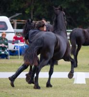 STOCK - Friesian Show 2012-68 by fillyrox