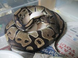2014 Ball Python Clutch #1 by ReptileMan27