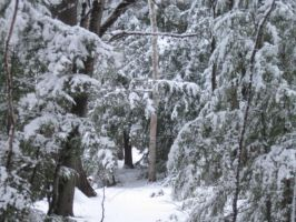 snowy hemlocks by crazygardener