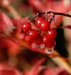 Red berries. by sandyprints