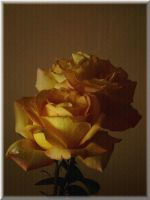 Rose postcard by narare