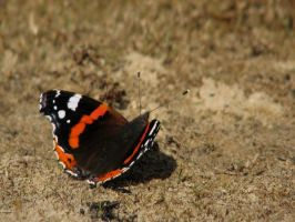 Red admiral by Garbuend
