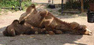 Bactrian Camels by nowherekid85