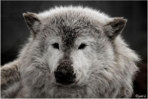 A Wolf With Big Head by Yair-Leibovich