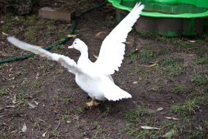 White Duck Stock 3 by CNStock