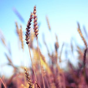 wheat square. by ~simoendli