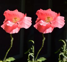 A Cross Eye Viewable Stereoscopic Shirley Poppy by aegiandyad