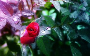 Wet Rose by Lairis77