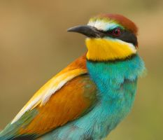 A head  turner - European Bee-eater by Jamie-MacArthur