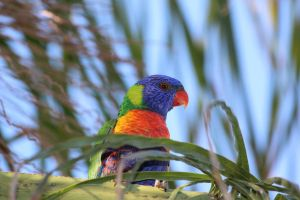 Wild Rainbow Lorikeet by N-ScapePhotography
