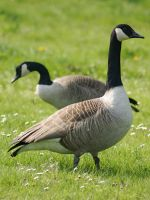 two wild geese pic. by LubelleCreativeSpark