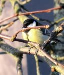 Great Tit by Kissemiss11
