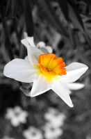 Daffodil by FlippinPhil