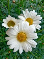 daisies by clandestine-stock