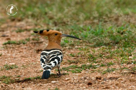 Hoopoe by k-v-bhat