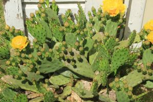 prickly pear Cactus Flower by jswis