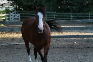 Bay Welsh / Thoroughbred Mare by HorseStockPhotos