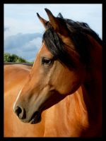 Horse's portrait 3 by Kasablanka