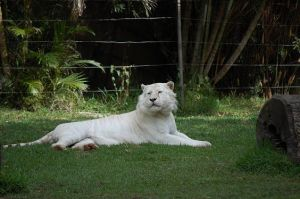 White Tigers at Dreamworld 2 by DanielleMiner
