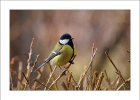Another great tit by Rajmund67