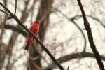 Northern Cardinal by toshema