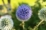 Blooming Globe Thistle by Sagittarianism
