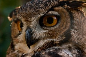 eagle  owl by isischneider