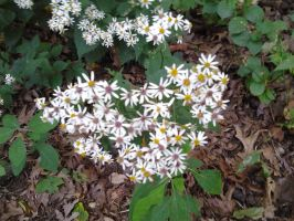 Wild Asters by GUDRUN355