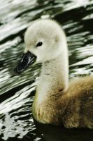 Little Swan by EarthHart
