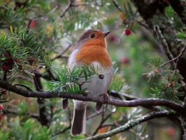 robin in a yew tree by harrietbaxter