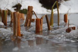 cut reed on ice by elscotto