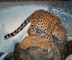 Denver Zoo 53 Leopard by Falln-Stock