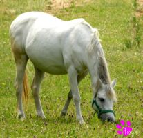 Grazing Horse 003 (12.07.13) by LacedShadowDiamond