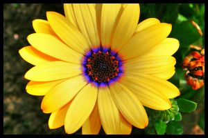 yellow flower HDR by simoner