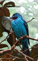 Spangled Cotinga by Track-Maidens