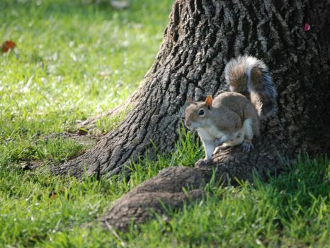 Wooded Squirrel by cadious13