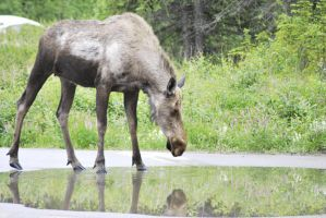 Moose by mobbe-pingvin