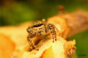 jumping spider 3 by Prototyps