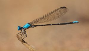 Damselfly by blepfo
