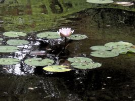 Water Lilly by TheGuitarMan