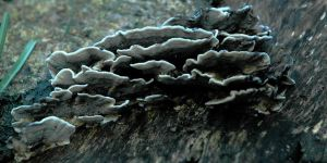 Fungi on Tree of Heaven Stump by EarthHart