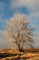 Frost Covered Tree by lividity101