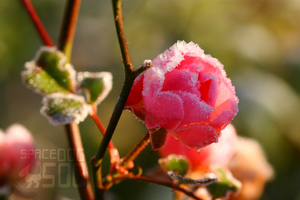 ice rose by SpaceDog500