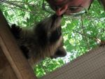 The Raccoon That Ate DeKalb County 12 by Windthin