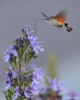 Hummingbird  hawk moth flying by Jorapache